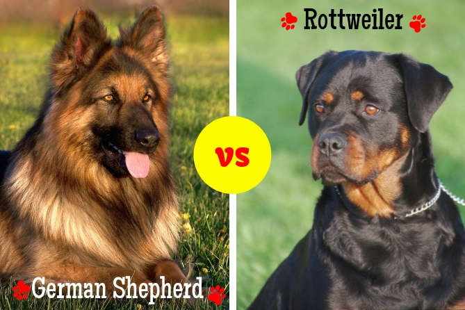 German Shepherd Vs Rottweiler Dog Comparison Find Your Ideal Breed