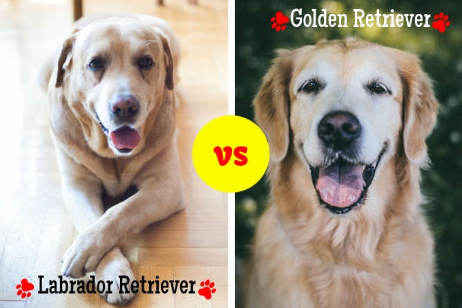 Labrador Vs Golden Retriever Comparison