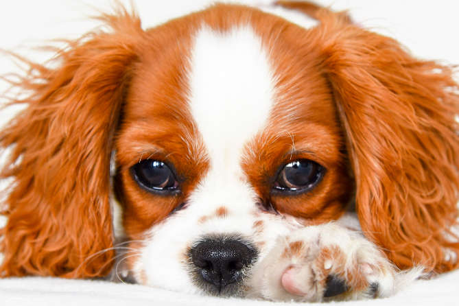 Cavalier King Charles Spaniel Dog Breed Information | India