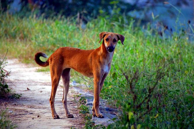 Indian Pariah Dog Price
