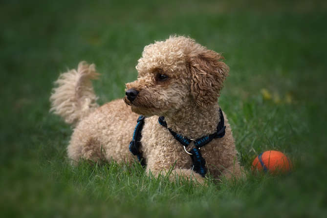 Poodle Dog Breed Information Learn All About This Dog India
